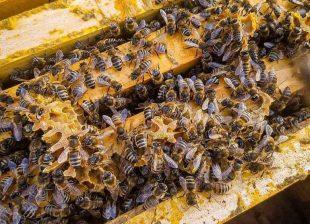 Йерархията в кошера и ролята на всяка пчела